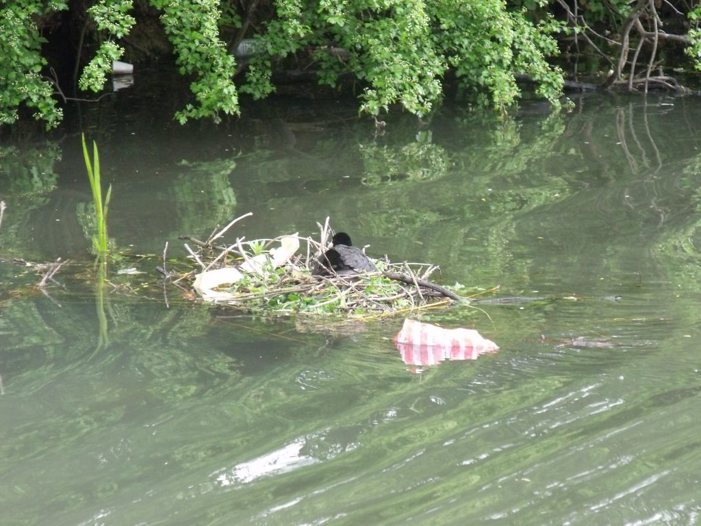 Coot's nest attached to a floating branch in the canal