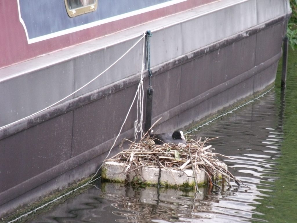 Coot's nest attached to a moored narrowboat