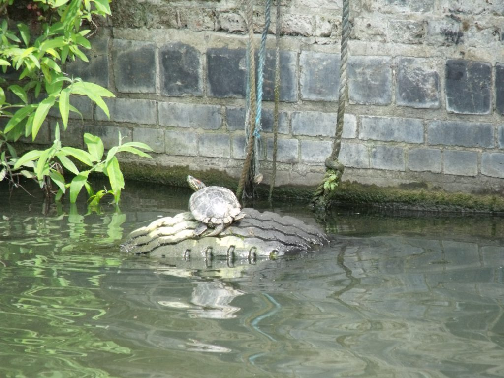 Turtles in the canals