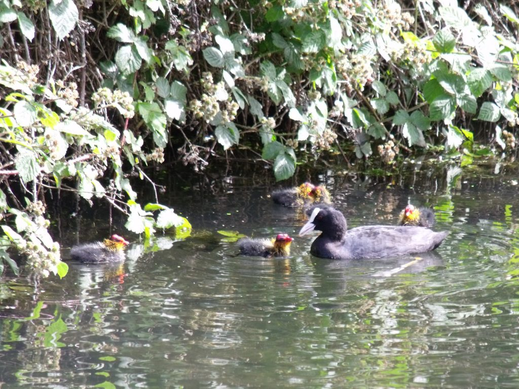 A coot and its young on the canal