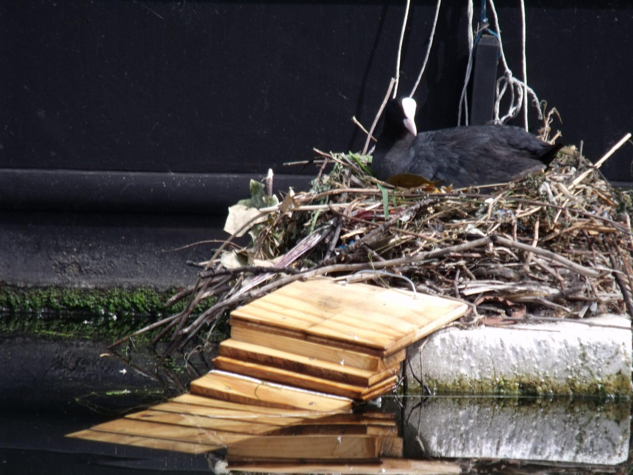 Coot's nest on the Grand Union Canal near Paddington